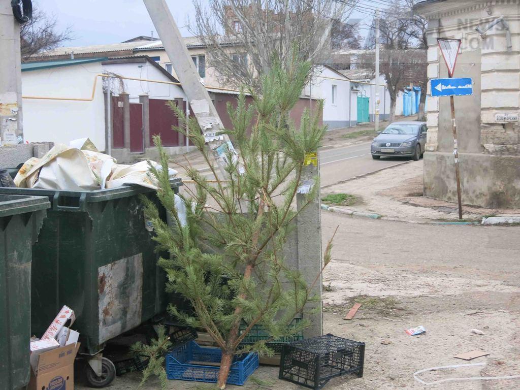 Фото новости - Феодосия не организовала акцию по сбору использованных живых новогодних елок(фоторепортаж)