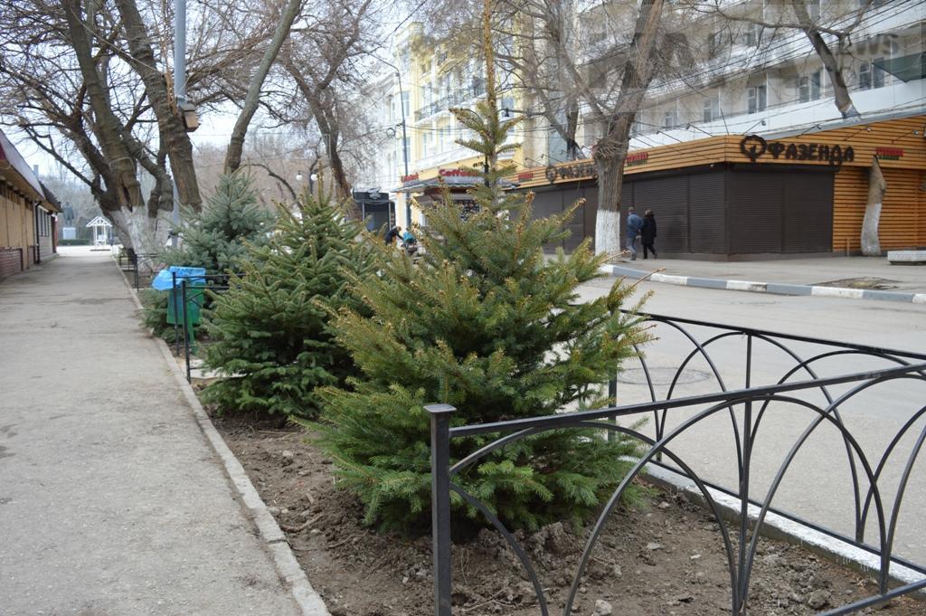 Фото новости - Проспект Айвазовского теперь украшают голубые ели(фоторепортаж)