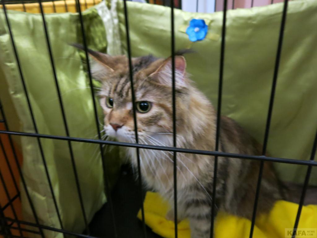 Фото новости - В Феодосии проходит выставка кошек(фоторепортаж)