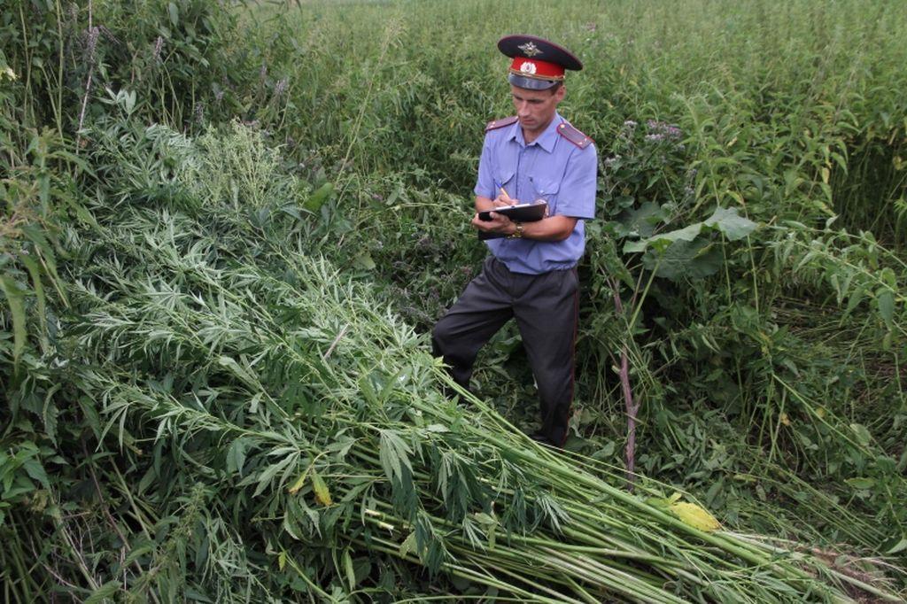 ВКрыму депутат сельсовета развел плантацию конопли