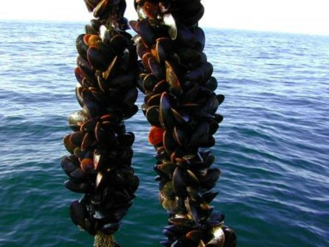 ловля морских устриц