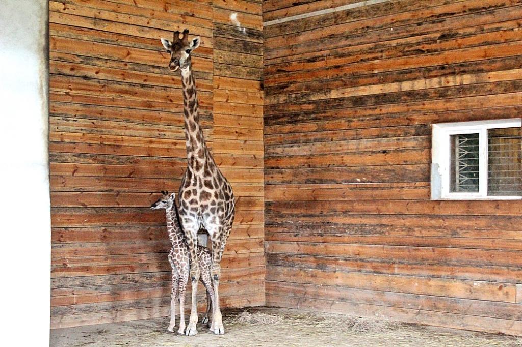 Настоящее чудо под Новый год: вкрымском сафари-парке родился жирафенок