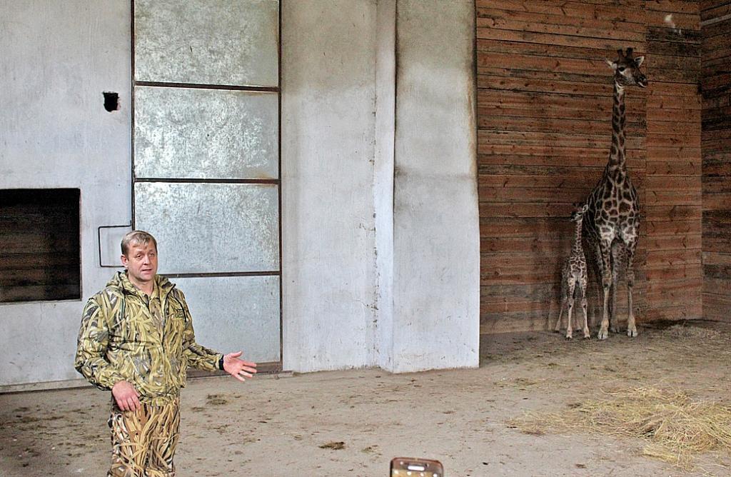 Впарке львов «Тайган»— длинношеее пополнение: родился жирафёнок