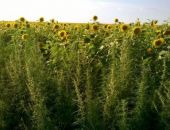 В Крыму скосили 35 тыс. кустов конопли, поиски новых плантаций продолжаются