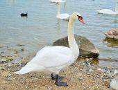 В Евпатории неизвестные убили нескольких лебедей