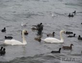 В Феодосию на зимовку прилетели лебеди:фоторепортаж