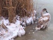 В Крыму на озере Сасык-Сиваш под Евпаторией от холода погибают лебеди (фото, видео)
