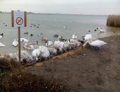 В Крыму на озере Сасык-Сиваш близ Евпатории лебеди гибнут из-за холодов и неправильного питания