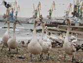 Феодосийцев призывают заботиться о лебедях