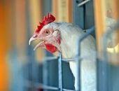 В России ограничат ввоз яиц и мяса птицы из Европы