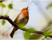 Пение птиц за окном благотворно влияет на психику, – ученые