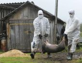 В Крыму новая вспышка африканской чумы свиней, введён режим ЧС