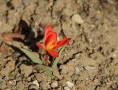 В Никитском ботаническом саду распустился первый из 37 тыс. тюльпанов (фото)