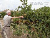 В Крыму планируют увеличить площадь виноградников с 14 тыс. га до 30 тыс. га за 5 лет