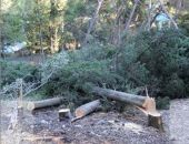 В Ялте вырубают краснокнижные деревья под площадки для строительства