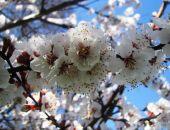 Феодосия цветущая