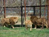 В Крыму в «Тайгане» состоялся выпуск львов из вольеров в сафари (видео)