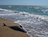 В Черном море зафиксирована массовая гибель дельфинов