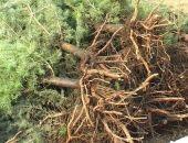 В Симферополе задержали мужчину, который выкопал и продал три чужие елки