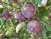 Град нанес существенный ущерб урожаю фруктов в пригородах Симферополя, – Минсельхоз Крыма