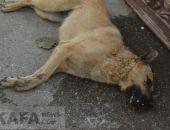 Травля собак в Феодосии пока не подтверждается