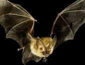 Учёные выяснили, что в распространении самых опасных для человека вирусов виновны летучие мыши