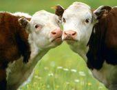 Поголовье коров в Крыму за год уменьшилось на 7%, свиней - на 15%