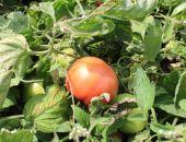 Крым способен обеспечивать жителей дешевыми и вкусными помидорами