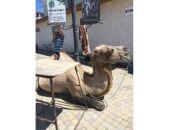 В Коктебеле владельца верблюда оштрафовали на 500 рублей