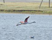 Краснокрылый фламинго остановился в Крыму