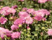 В Крыму в Никитском ботаническом саду расцвели первые хризантемы (фото)