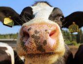Власти Крыма винят в резком сокращении поголовья скота вспышку АЧС и низкие закупочные цены