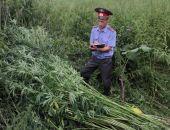В Крыму депутат получил уголовное дело за выращивание конопли