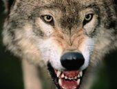 В Бахчисарайском районе Крыма жители жалуются на волков