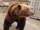 Сбежавший из зоопарка медведь убил пенсионера под Воронежем