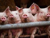 В Советском районе установили карантин в отношении африканской чумы свиней