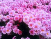 В Крыму в Никитском ботсаду начали цвести хризантемы (фоторепортаж)