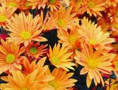 Сегодня в Никитском ботаническом саду открылся ежегодный «Бал хризантем» (фото) (видео)