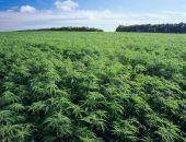В Крыму депутат, выращивавший плантации конопли, приговорён к 320 часам обязательных работ