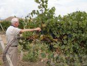 В Крыму собрали более 50 тысяч тонн винограда