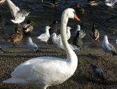 В Феодосию прилетел первый лебедь (видео)
