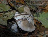 МЧС предупреждает об опасности сбора грибов