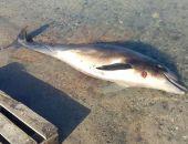 В бухте Севастополя нашли дельфина с простреленной головой