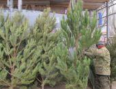 Где в Феодосии будут продавать ели и сосны?