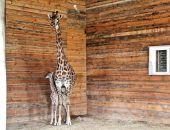 """В Крыму в парке """"Тайган"""" два дня назад родился жирафенок"""