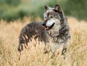В Крыму стая волков нападает на коз и овец