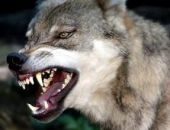 В Крыму застрелили бешеного волка, введён карантин