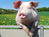 В Крыму за год поголовье свиней уменьшилось на 9%