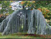 В столице Крыма высадят шесть деревьев стоимостью по 70 тыс. рублей каждое