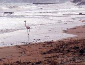 На пляже Феодосии бродит фламинго